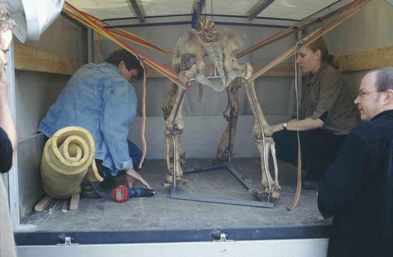 restauration des höhlenbärenskelettes